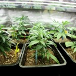 decriminalization of marijuana